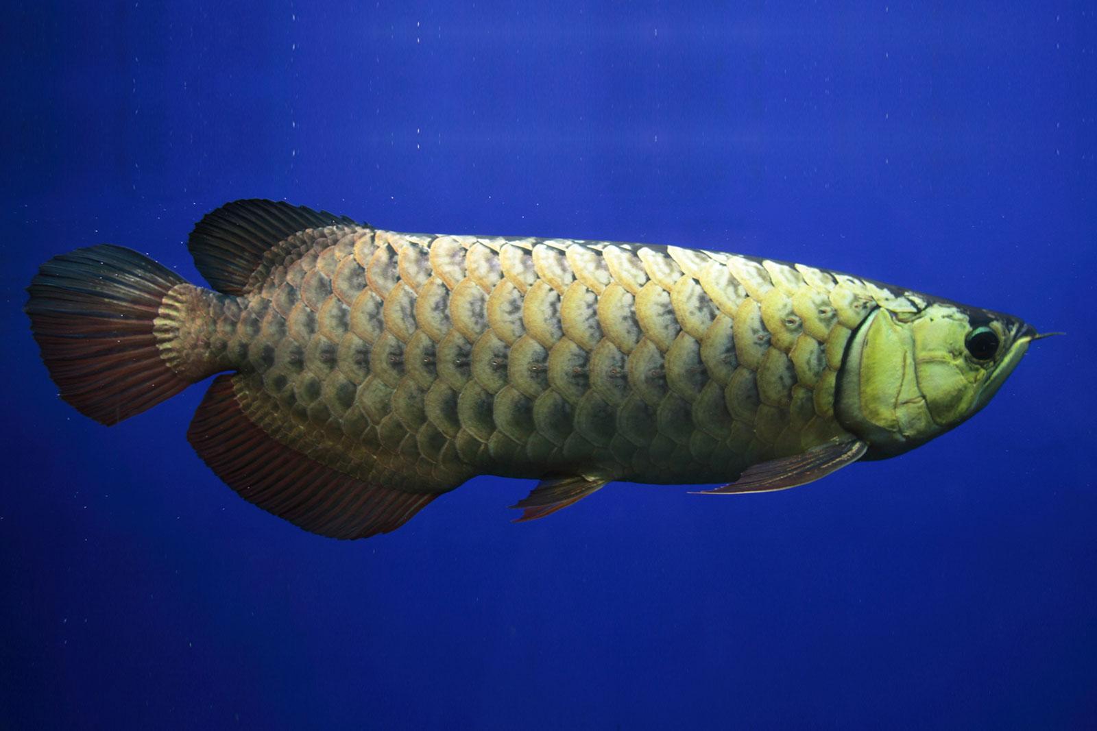 Wie man Arowana Fisch von zu Hause aus züchtet